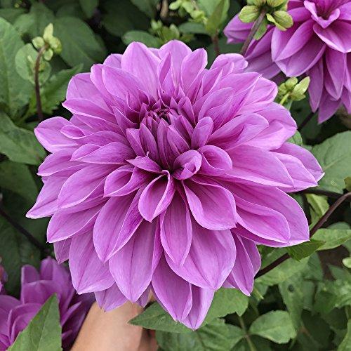 Fleur Dahlia Pompone Double Mixte 2000 FINEST SEEDS