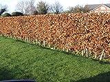 Portal Cool 3 Grüne Buche Heckenpflanzen 2 Jahre Alt, 1-2 Ft Grade 1 Hedge Bäume 40-60cm