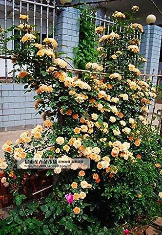 DIY Home Garden Plant 100 Seeds Alysse Odorante Sweet ALYSSUM PASTEL CARPET MIX Lobularia Maritima Flower