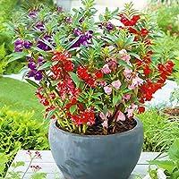 Plantas fáciles de vivir y de cultivar Flor de henna Semilla de flor de henna 300 Cápsulas-excelente_Camellia Impatiens 200 Cápsulas