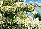 weiße Blüten (Wandkalender 2017 DIN A3 quer): Die Natur bezaubert auch mit wenig Farbe. (Geburtstagskalender, 14 Seiten ) (CALVENDO Natur)