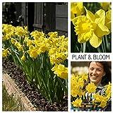 Plant & Bloom Narzissen Tulpenzwiebeln aus Holland, 20 Zwiebeln - Narcissus Dutch Master - Einfach zu züchtende Narzissen - Zum Anpflanzen im Herbst - Beste holländische Qualität - Gelbe Blüten