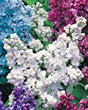 Willemse France Lilas double blanc