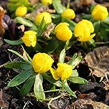 40 Zwiebel Eranthis hyemalis, Winterlinge gelb ,Größe 4/5,