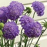 lamta1k 50Pcs Scabiosa Atropurpurea Semillas Pincushion Flower Garden Home Bonsai Decoración - Scabiosa Atropurpurea Semillas