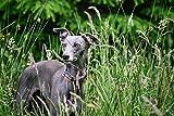 The Trendy Whippet Boho Stripe Martingal Gepolsterter Kragen Whippet, Italienischer Windhund, Windhund, Lurcher, Saluki, Galgo, Windhund