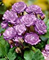 Stammrose 'Minerva'-pro Stück-Rosen von Bakker - Du und dein Garten