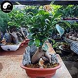 Portal Cool Chinesische Feige Baum Semente 50 Samen Pflanzenwurzeln Ginseng Ficus Bonsai