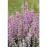 Calluna, Winterharte Knospenheide Erika Gardengirls® 'Amethyst' erika, in Gärtnerqualität - Variante: 11 cm
