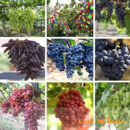 Go Garden 50 graines-mixte de pépins de raisin-Beauté doigt Noir Rouge Vert arc-en-Sucrés frais semis de raisin Fruit Garden Plant-Terre Miracle