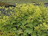 Alchemilla mollis- Frauenmantel, 6 Pflanzen