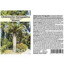 Seedeo® Chilenische Honigpalme (Jubaea chilensis) 3 Samen