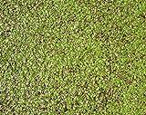 Haus&Garten Wasserlinse/Wasserlinsen Sehr große Portion 20x20cm Entengrütze