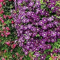 Lorjoy 100 piezas/Semillas Semillas Bonsai Bolsa Clematis Flor Decoración para el Hogar Jardín Siembra