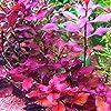Ludwigia sp. Super Red - 1 Bunch - Live aquarium plant 7