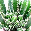 Cereus floridianus - Grünfinger - im 8,5cm Topf