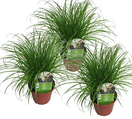 Echtes Katzengras (Cyperus alternifolius \'Zumula\') (3)