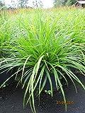 Japan-Segge J.S. Mosten - Carex morrowii J.S. Mosten