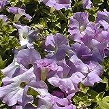 Shoopy Star 50 semi di petunia lilla imbottiti in supercascato