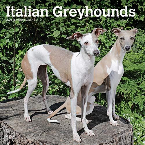 Italian Greyhounds - Italienisches Windspiel 2020 - 16-Monatskalender mit freier DogDays-App: Original BrownTrout-Kalender [Mehrsprachig] [Kalender] (Wall-Kalender) -