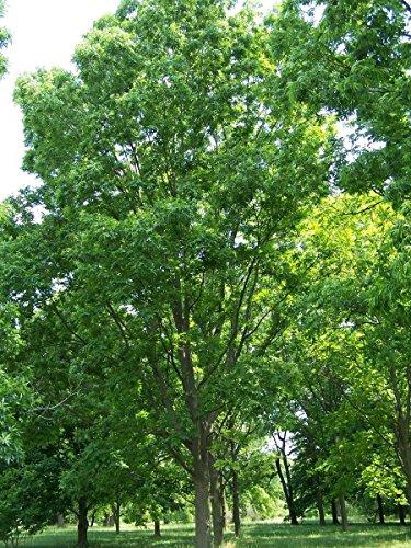 Pekannussbaum (Carya illinoinensis) 3 Große Samen