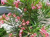 Oleander (Nerium Oleander) Pink 8 Samen *Frische Ernte*