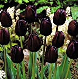 Tulipano lungo stelo Queen of Night (10 BULBI)
