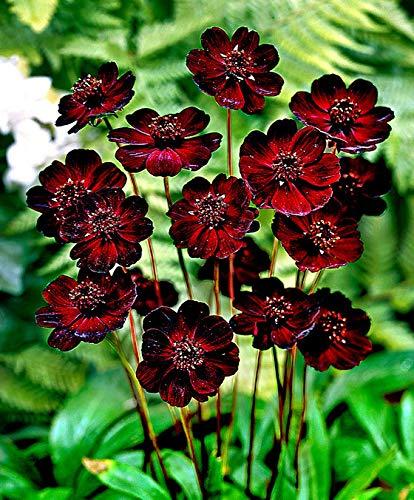 Yukio Samenhaus - Rarität Schokoladen-Kosmee Sommerblume Blumensamen mehrjährig winterhart exotisch in Terrassen- oder Balkonkübel Beet