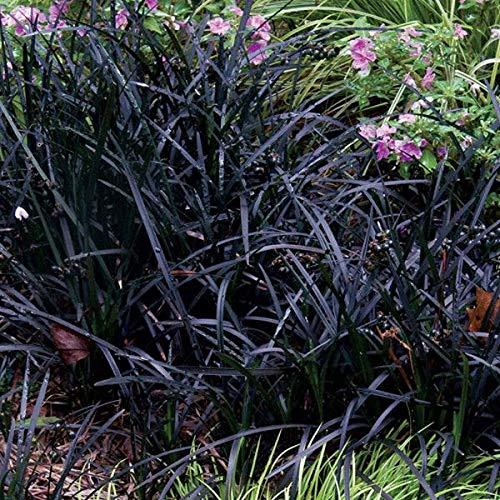 "5 re Root ""Dragon"" Mondo Rasen Spielklassen Ophiopogon planiscapus """" by Farmerly"