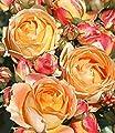 """BALDUR-Garten Beet-Rose """"Dolce Vita®"""";1 Pflanze von Baldur-Garten auf Du und dein Garten"""