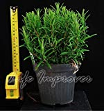 1 Hardy Fragrant Aromatic Rosemary Plant in Pot