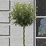 Willow Wand (Large) 1m tall
