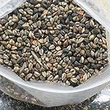 20 semillas / pack amargo vegetal germinación de semillas de trigo sarraceno A brotes hidropónicos cuidado de la diabetes hiperlipidemia la hipertensión