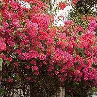 mymotto 50pcs Jardín Balcón Belle Bonsai Plantas rododendros Semillas, 7, 50 Pcs
