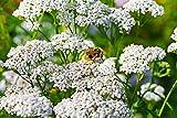 Schafgarbe Achillea millefolium 2000 Samen