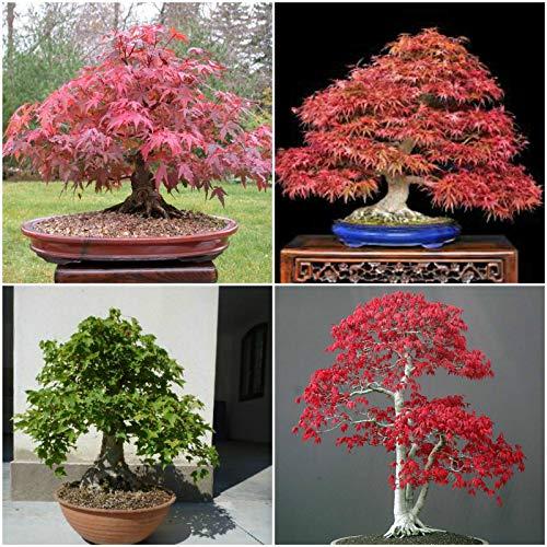 Portal Cool 50SEMILLAS nel mà  Lange Acer, Acer rubrum, Palm, Palm atropurpureum, Livello S