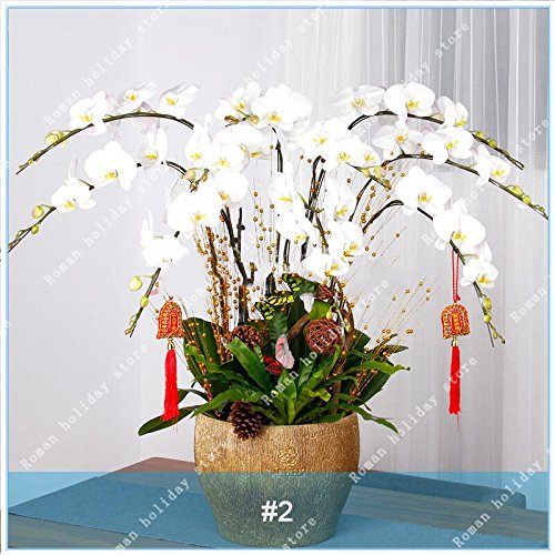 Galleria fotografica ZLKING 100 Pz rari Seeds Bianco Viola Phalaenopsis Orchidee Fiore Bonsai naturale in rapida crescita esotiche piante da fiore Pot Stand 2