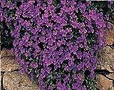 Just Seed - Blume - Rock Cress - Griechisches Blaukissen (Aubrieta deltoidea) - Royal Violett - 250 Samen