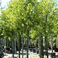 Cinnamomum camphora (Canfora) – alberello [H. 200-250 cm.]