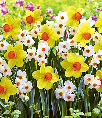 Ultrey Samenshop - Narzissen-Mix Samen Duftend Reichblühende Narzisse mit farbintensiven Blüten Schnittblume Blumensamen Frühling mehrjährig winterhart für Garten Balkon/Terrasse