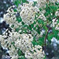 Historische Ramblerrose 'R. Filipes Kiftsgate' - 1 Pflanze von Garten Schlüter - Du und dein Garten