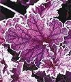 """BALDUR-Garten Heuchera """"Midnight Bayou"""",1 Pflanze von Baldur-Garten auf Du und dein Garten"""