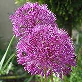 """20x Allium """"Purple Sensation"""" Mehrjähriger Zierlauch Kugellauch mit dunklen Lila Blüten"""