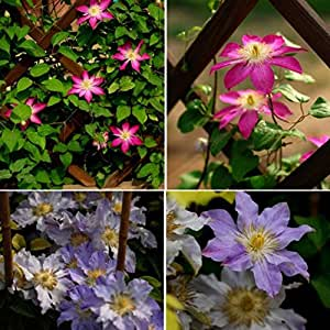Rosepoem 100 pezzi misti colori meravigliose grandi fioriture perenni semi di vite