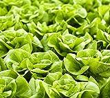 Kopfsalat kann Queen Samen - Lactuta sativa