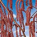 """Haselnuss """"Rote Zellernuss"""", Busch, 1 Pflanze von Amazon.de Pflanzenservice auf Du und dein Garten"""