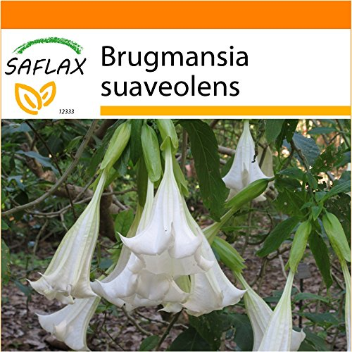 SAFLAX - Garden in the Bag - Trombone d'angelo / Bianco - 10 semi - Brugmansia suaveolens