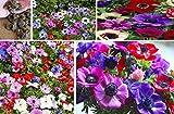 8x Riesen Anemone De Caen Pflanze Blumen Mix bunt Garten Samen Mehrjährig Neu Groß #390