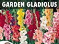 Gladiolen Leuchtmittel, Mischung (25Leuchtmittel) Sommer blühenden, mehrjährig von Unbranded auf Du und dein Garten