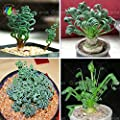 200 / bag Sin Menschheit Pflanzen, breite Blattfeder Grassamen, Sukkulenten, neue Pflanzen von SVI - Du und dein Garten